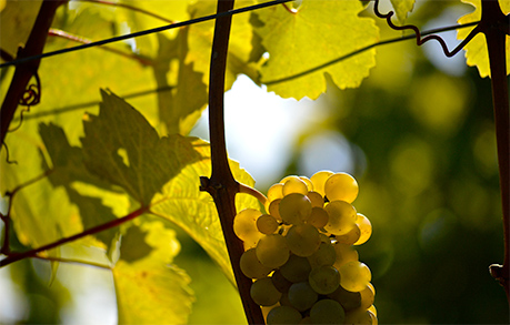 Sun-dappled white grapes hanging on the vine